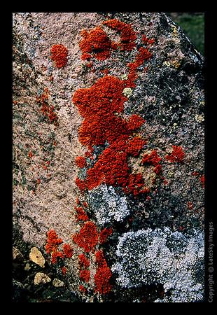 P27 Red Lichen