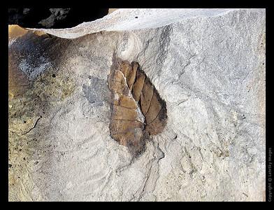 267 Leaf Fossil