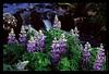 E07 Purple Lupine