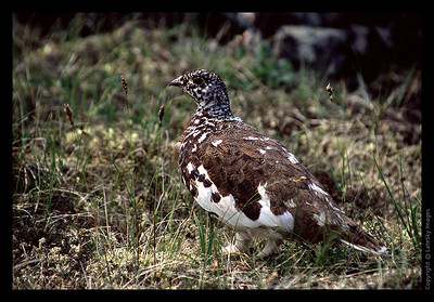 A23 Ptarmigan Profle