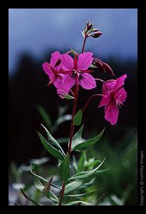 C29 Alaskan Fireweed