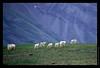 F16 Goat Herd
