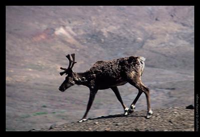 K33 Caribou Walking