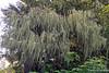 Mossy Tree-Wrangell IP 18x12_7869