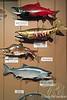 Museum-Salmon-Wrangell IP 12x18_7833
