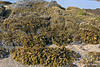 Barnacles~Petroglyph Beach-Wrangell IP 18x12_7861