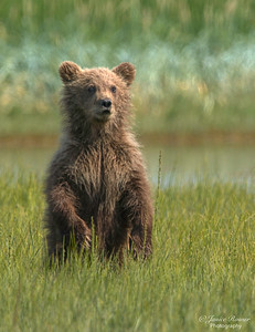 Kodiak bear Cub standing