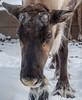 Reindeer portrait