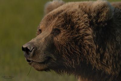Kodiak sow