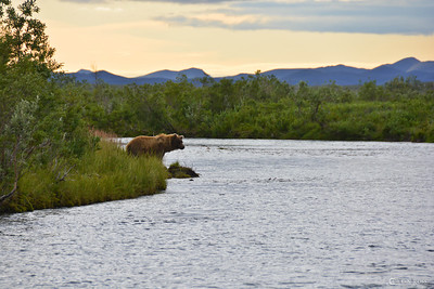 bear looking for late afternoon snack.................mainly if any king salmon are up river