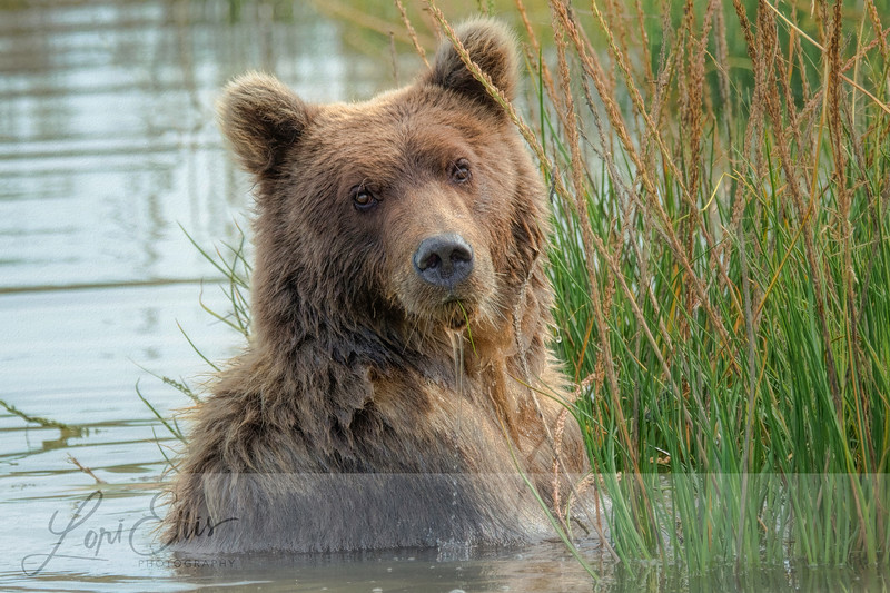 Young Grizzly Fishing