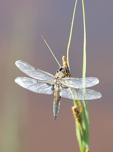 Black meadowhawk dragonfly
