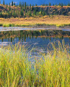 Alaska, Denali National Park, /  Near Denali National Park, fall colored sedges and Black spruce, Picea mariana surround marsh land. 904V3