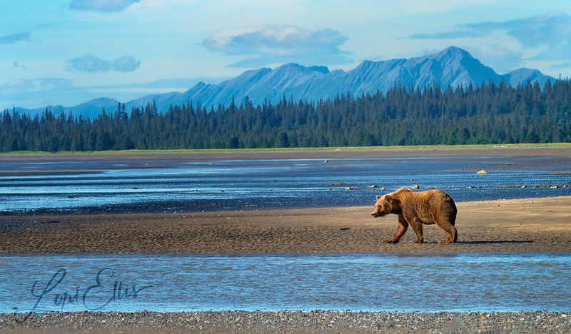 Grizzly Walking on Beach