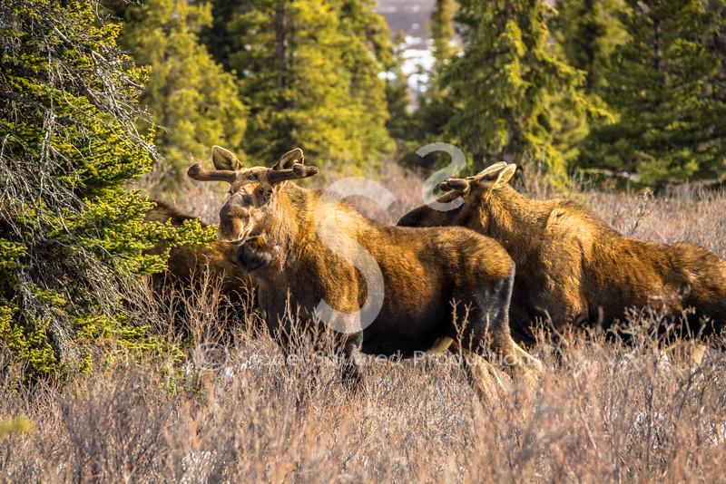 3 Bull Moose