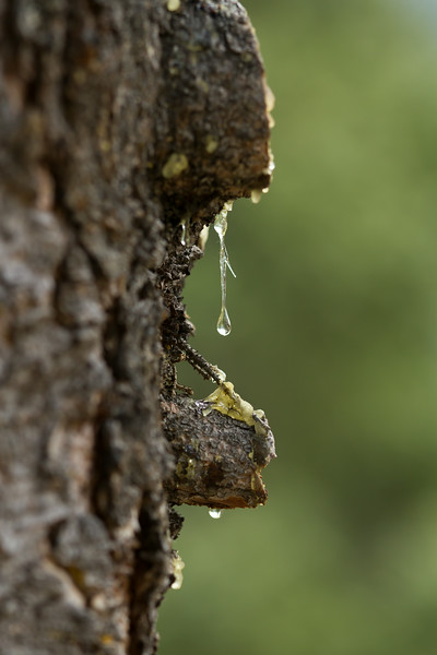 sap drop