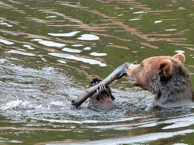 Like a big dog!  Alaskan grizzly bear