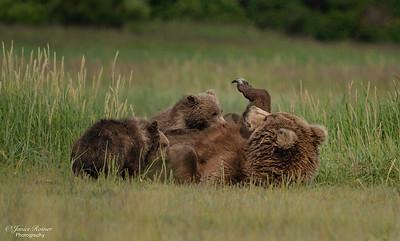 Sow nursing her cubs