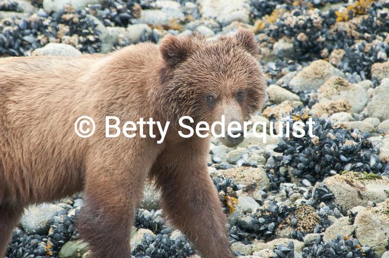 Brown Bear on Beach, Glacier Bay