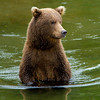 Wading grizzly, Katmai National Park