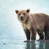 Grizzly Cub on the Beach