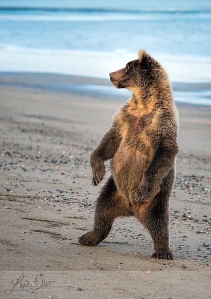 Grizzly on Hind Legs