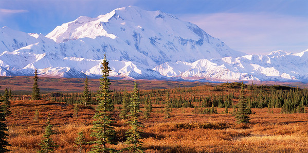 Alaska, Denali National Park, /   Black spruce, Picea mariana, rise from surrounding tundra with snow-covered Mount McKinley in the background.