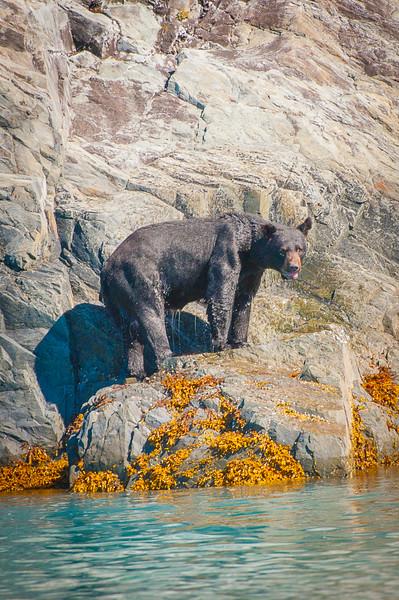 Photo Tour of Alaska: Black Bear at Kenai Fjords