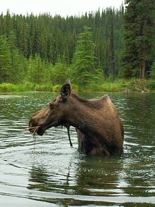 Moose sighting