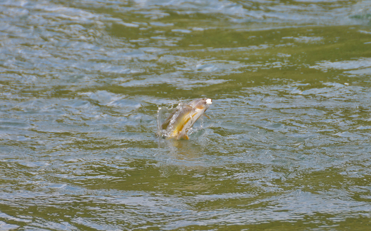 grayling taking a mouse fly..........