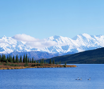Alaska, Denali National Park / Wonder Lake with trumpeter swans against a snow draped Mount McKinley in afternoon light.