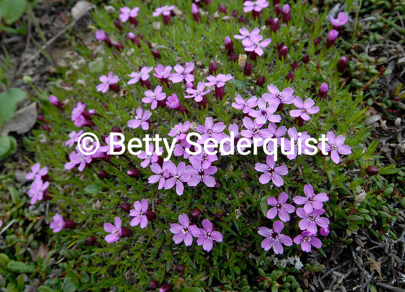 Moss Campion, Denali National Park, Alaska
