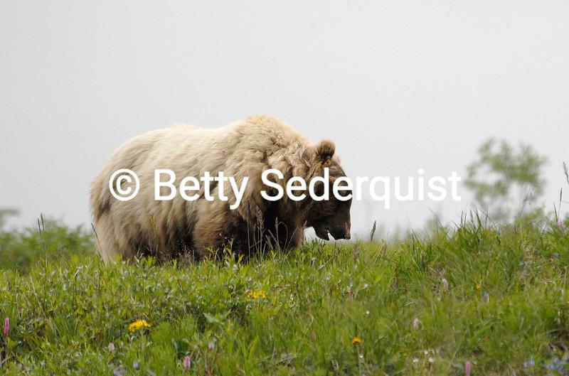 Large Grizzly Bear Boar, Denali National Park, Alaska