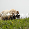 Large Grizzly Bear Boar, Denali National Park, Alaska