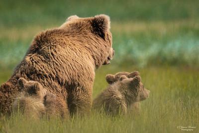 Kodiak sow and cubs