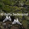Nesting Black Legged Kittiwakes, Muir Inlet