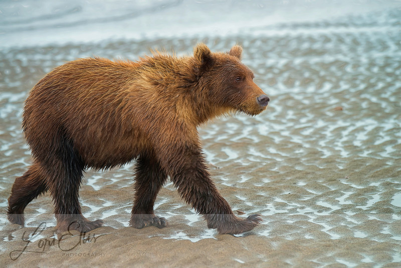 Grizzly Walking in the Rain