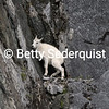 Baby Mountain Goat Stuck on Cliff, Glacier Bay