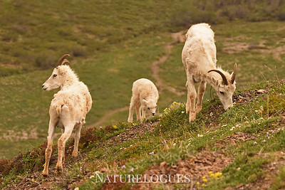 Dall Sheep Social Group