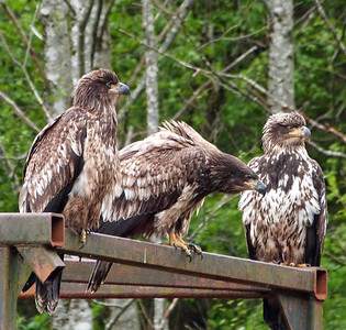 Young eagles on the lookout!