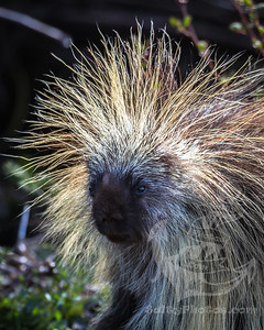 Porcupine at sunrise