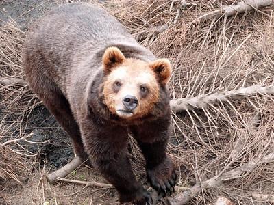 Curious grizzly bear