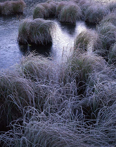 Alaska, Denali National Park, / Sedges, at the edge of Wonder Lake, are encased in frost creating delicate patterns in the soft light of dawn.. 904V7