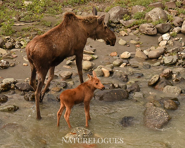 Cow Moose with Baby