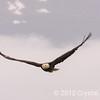 Eagle near Valdez