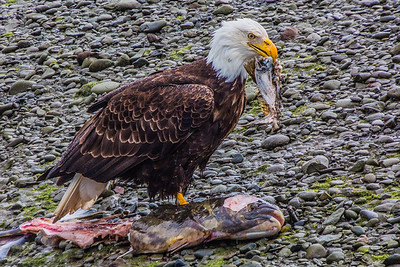 Bald eagle eating fish in Homer, Alaska