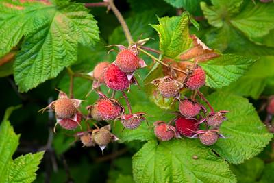 Thimbleberries, Tenakee Springs
