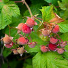 Thimbleberries, Tenakee Springs