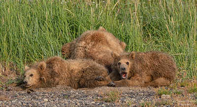 Bears waking up