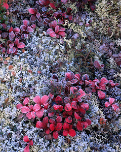 Alaska, Denali National Park, / Tundra in fall color, Common Bearberry, Arctostaphylos uva-ursi  (red) with frost in bed of lichen. 904V2